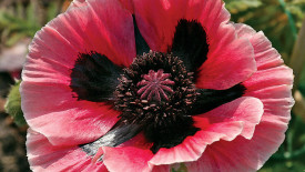 Beautiful Pink Oriental Poppy Flower Photo And Picture Sharing