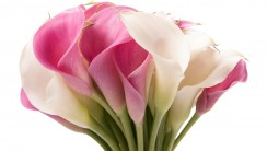 Beautiful Pink And White Calla Lily Bouquet Flowers Image Picture Wallpaper