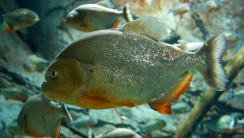 Animal Predator Fish Piranhas Photo Picture HD Wallpaper Image