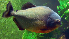 Beautiful Piranha Fish Animal Photo And Picture Free Download