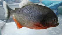 Animal State Piranha Are Found In The Amazon Basin Photo And Picture