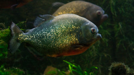 Piranha Luc Viatour Animal Aquarium Predator Photo Picture Image
