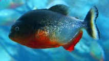 Piranha Fish Animal Predator HD Wallpaper Photo Picture Free Download
