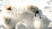 Cute Polar Bears Animal Predators Photo And Picture Sharing Free