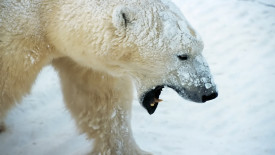 Best Photo Picture HD Wallpaper Polar Bears Animal Free Download