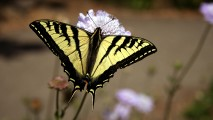 Swallowtail Butterfly Yellow Black Photo Picture And Image Gallery