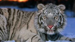 White Tiger Animal Desktop HD Wallpapers Photos Pictures Images Gallery