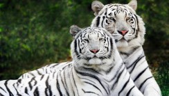 Amazing White Tigers Are A Mixture Of Bengal Have Pink Noses Photos