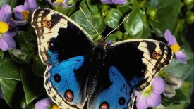 Amazing Butterfly Animal Wallpaper HD Widescreen For Your PC Computer