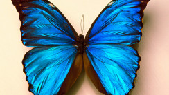 Beautiful Dark Blue Color Butterfly Photo Picture HD Wallpaper Free