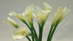 Beautiful White Calla Lilies Flowers Picture Photo Image Free Download