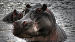 Big Animal Hippopotamus Photo Picture With High Resolution