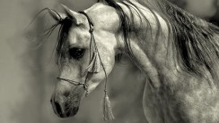 Grey Arabian stallion wallpaper