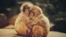 Baby Monkeys Wallpaper