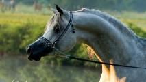 Egyptian Arabian horse wallpaper