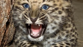 leopard baby animal wallpaper