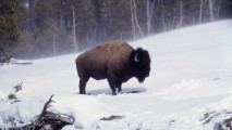 Bison Snow HD Wallpaper