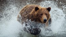 Brown Bear Splashing in Water Wallpaper