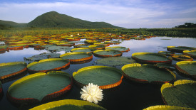 Lily Pads and Mountain HD Wallpaper