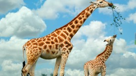 Mother Giraffe and Baby Wallpaper