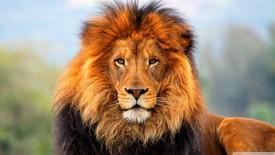 Proud Lion HD Wallpaper