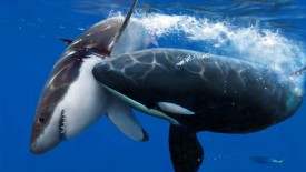 Killer Whale and Shark HD Wallpaper