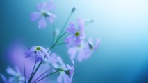 Beautiful Delicate Violet Flowers HD Wallpaper