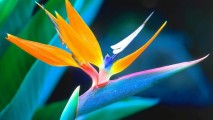 Bird of Paradise HD Wallpaper