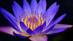 Blue Water Lily HD Wallpaper