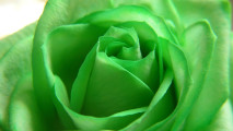 Green Rose HD Wallpaper