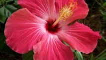 Hibiscus HD Wallpaper