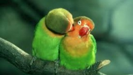 Peach Faced Love Birds HD Wallpaper