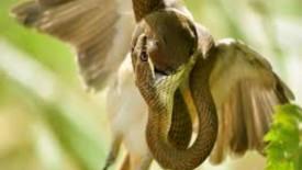 Photo of Bird Prey of Snake Hd Wallpaper