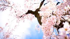 Pink Sakura Flowers HD Wallpaper