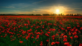 Red Flowers with Sunset HD Wallpaper