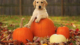 Pumpkins and Puppy HD Wallpaper