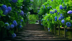 Blue Hydrangea Walkway HD Wallpaper