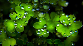 Clover with Raindrops HD Wallpaper