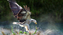 Eagle Catches a Snake HD Wallpaper