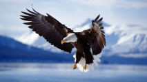 Eagle in Flight HD Wallpaper