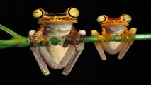 Tree Frogs HD Wallpaper