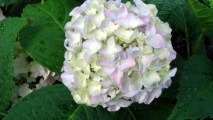 Hydrangea HD Wallpaper