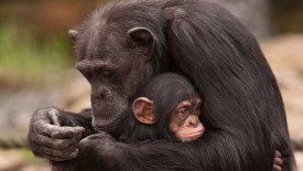 Chimpanzee Mother and Baby HD Wallpaper