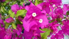 Purple Bougainvillea HD Wallpaper
