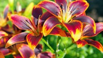 Purple and Yellow Lilies HD Wallpaper