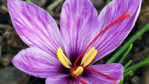 Saffron Crocus Flower HD Wallpapers