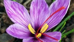 Saffron Crocus Flower HD Wallpapers