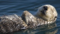 Sleeping Sea Otter HD Wallpaper