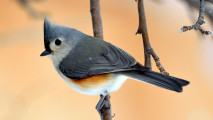 Tufted Titmouse HD Wallpaper