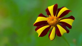 Yellow and Red Flower HD Wallpaper